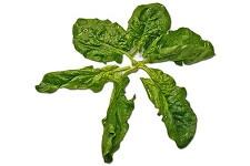 Spinach in Sanskrit