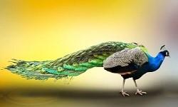 Essay on Peacock in Sanskrit