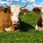 Essay on Cow in Sanskrit